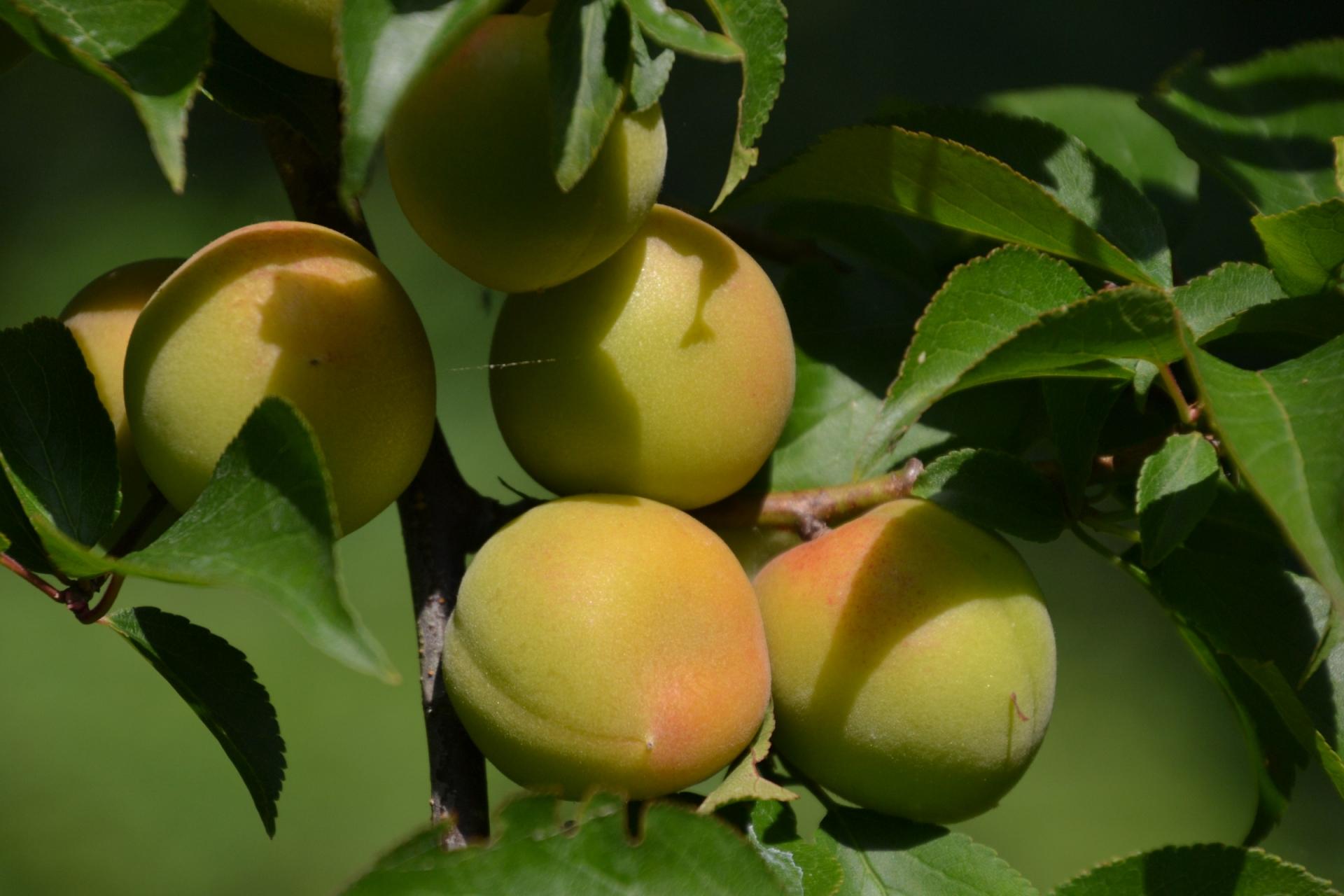 小田原の梅(plum)
