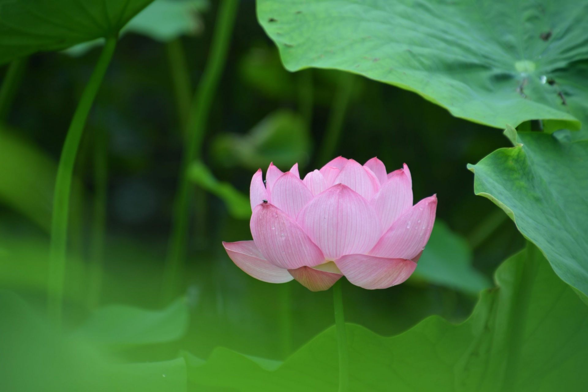 小田原城南堀のハス(The lotus of Odawaracastle Minamibori)